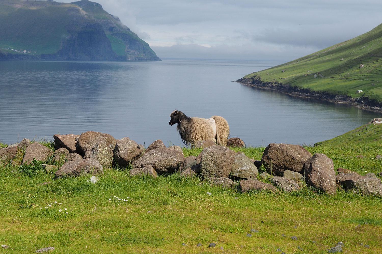 G_Festival_FaroeIslands_Schaf_www.oooyeah.de